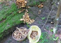 Вешенка в компании строчков: какие грибы можно найти в Подмосковье