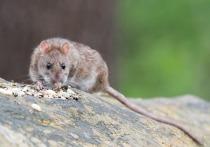Реновация избавит Москву от крыс